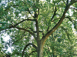 Tree of the Week: Ash