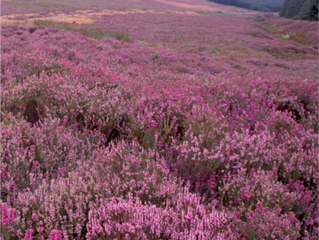 Tree of the Week: Heather