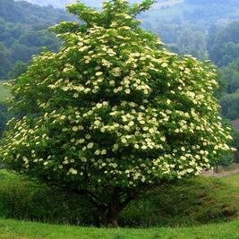 Irish Ogham Tree Essences