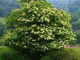 Tree of the Week : Elder
