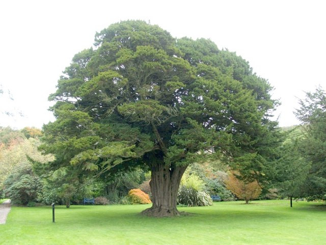5,000 year old Yew Tree