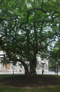 Trinity College Trees