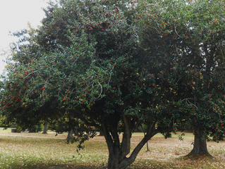Tree of the Week: Holly