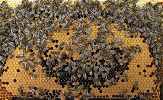 apis-mellifera-mellifera-dark-bees.jpg