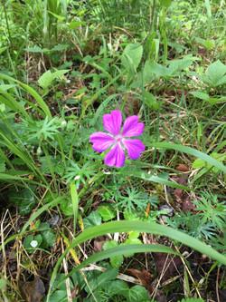 Burren Wildflower