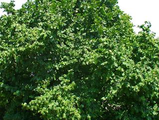 Tree of the Week: Hazel