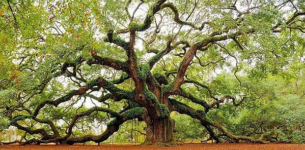 oak-tree-giant.jpg
