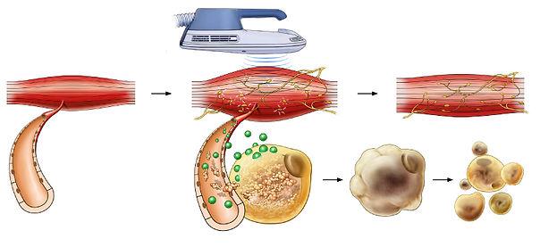 effects-on-fat-tissue.jpg