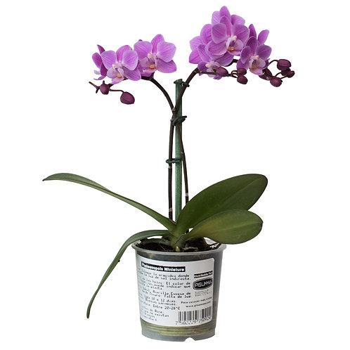 Phalaenopsis Little Princess