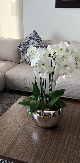 Phalaenopsis Queen