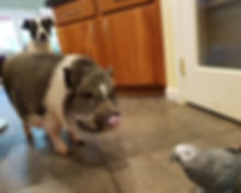 Dog, pig, and parrot in kitchen
