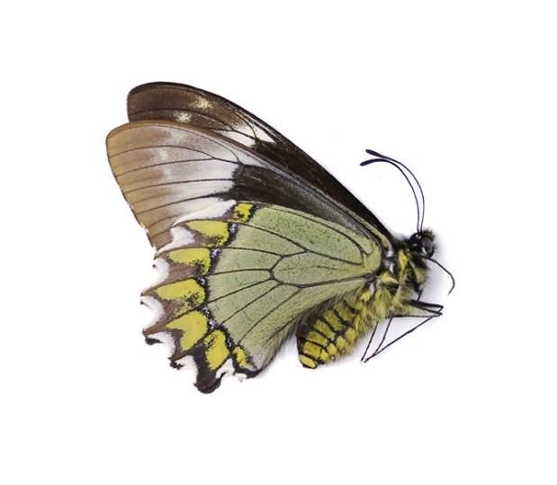Madyes-Swallowtail-Battus-madyes-Butterf