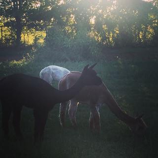 Alpaca pics 😍#farmlife #countryliving #