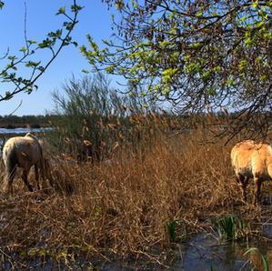 Chevaux des marais