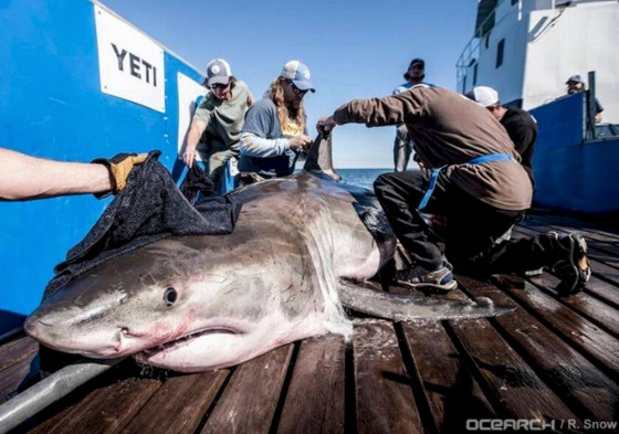 "Great white shark ""Hilton"" weighing 1,326 lbs in the Gulf of Mexico"