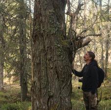 Enkelstammig jättesälg Gorkuträsk naturskog
