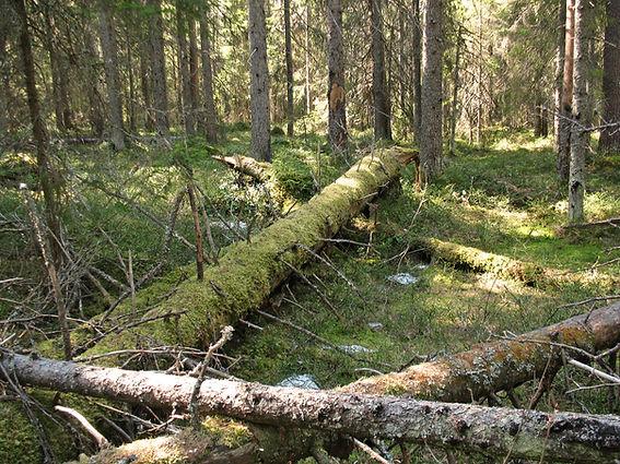 Grannaturskog i Skellefteå.JPG