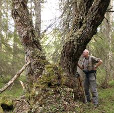 Grövsta trädet i Skellefteå!