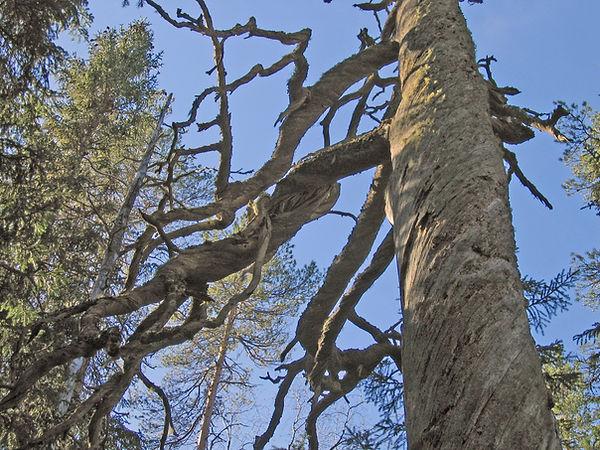 Fäbodskogens torrfura.jpg