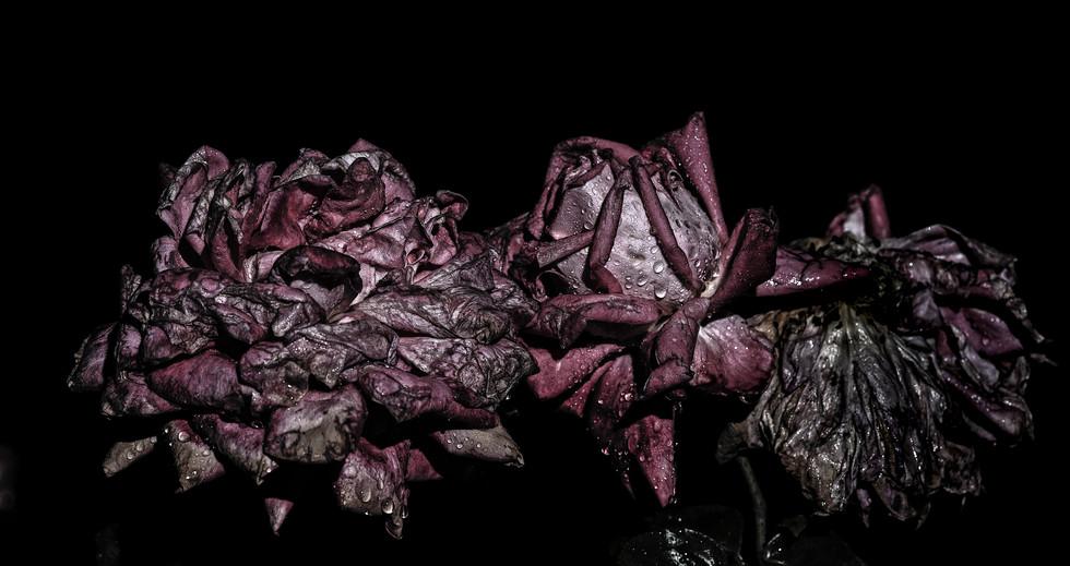 Rosas Pútridas