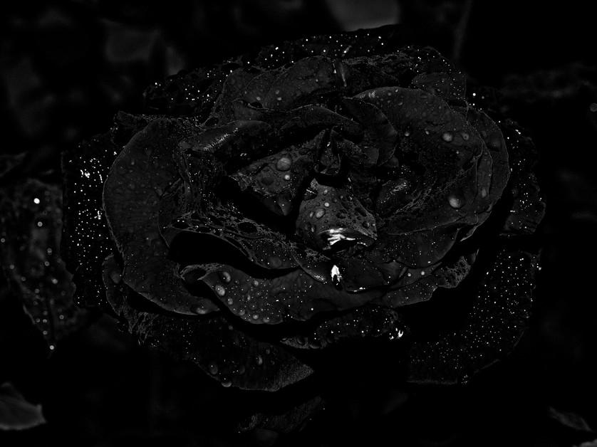 Rosa Cósmica