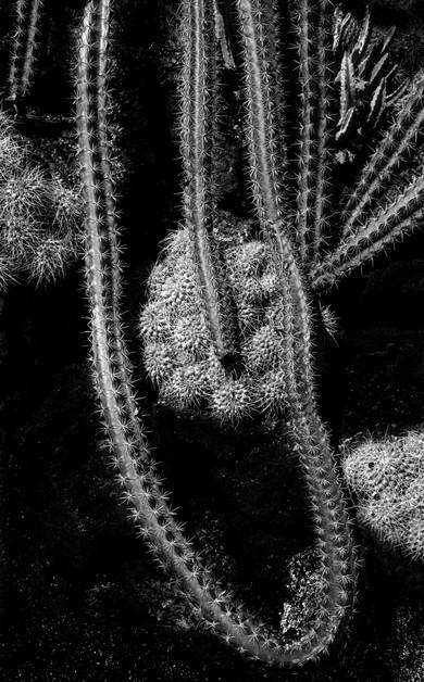 Stenocereus Alamosensis II