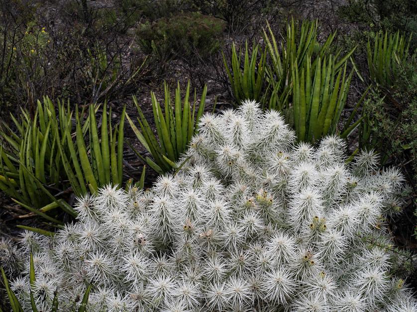 Opuntia tunicata