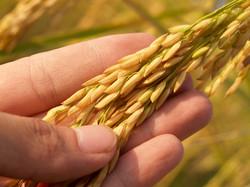 Best Quality Grains