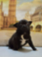 купить щенков чихуахуа в Кустанае