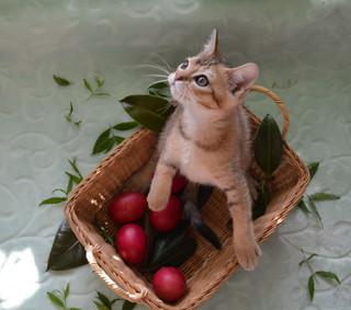 котята бонсаи
