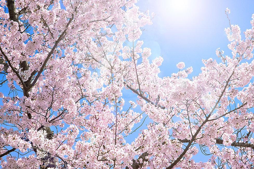 cherry-blossom_00002.jpg
