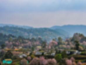 Cherry-Blossom-Festival-Shillong.jpg