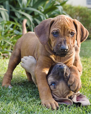 two-puppies-playing-in-garden-83315112-5