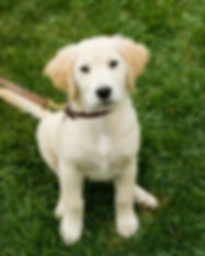 golden-retriever-puppy-picture-id5308226