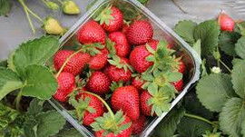 Strawberries - Power Food or Poison - Things no one tells you