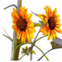 Women Are...,  Watercolor Sunflower