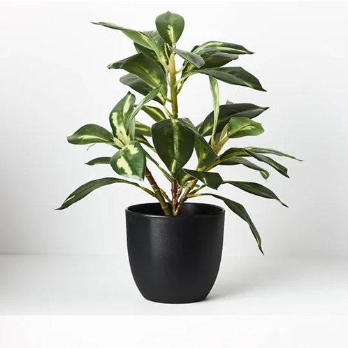 Dieffenbachia in Pot Green 26cm
