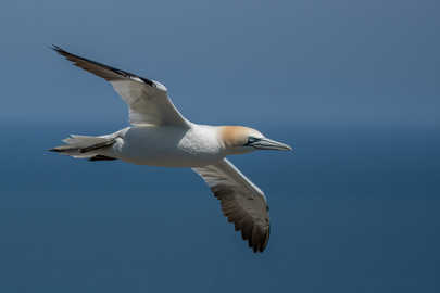 Adult Gannet flying southward
