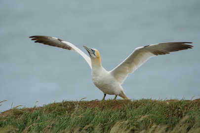 Gannet with wings spread
