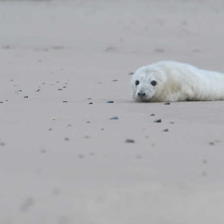 Grey seal pup on the beach