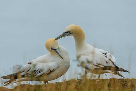 Young Gannets