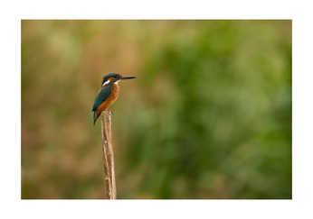 Kingfisher on a pole