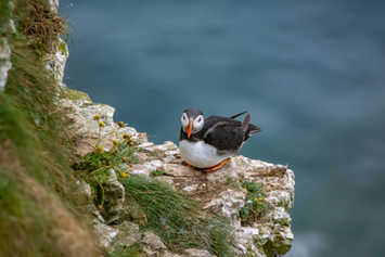 Puffin on cliff