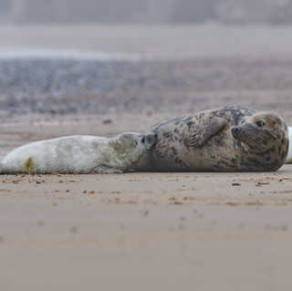 Grey seal pup feeding