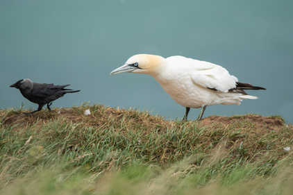 Gannet with a Jackdaw