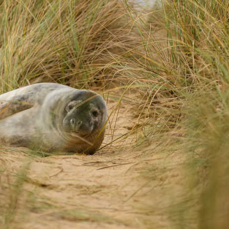 Grey seal pup in the sand dunes