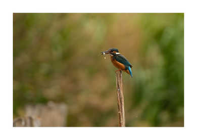 Kingfisher on a pole with a fish