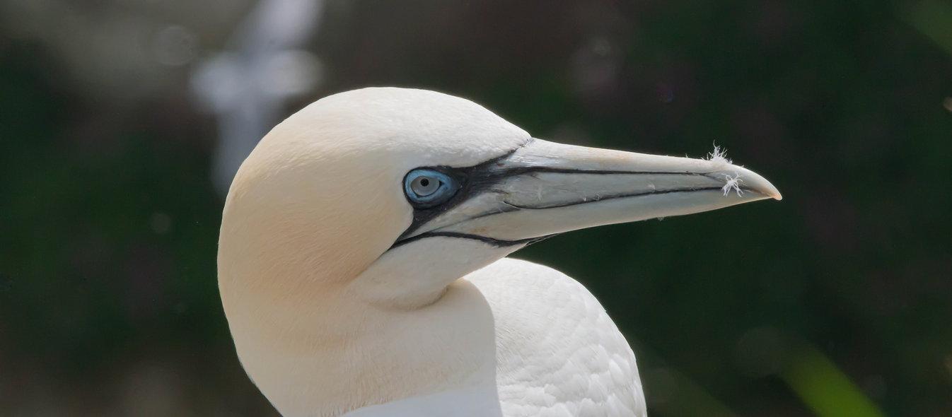 A Gannets head