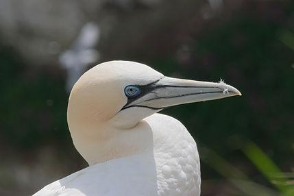 Gannet head shot