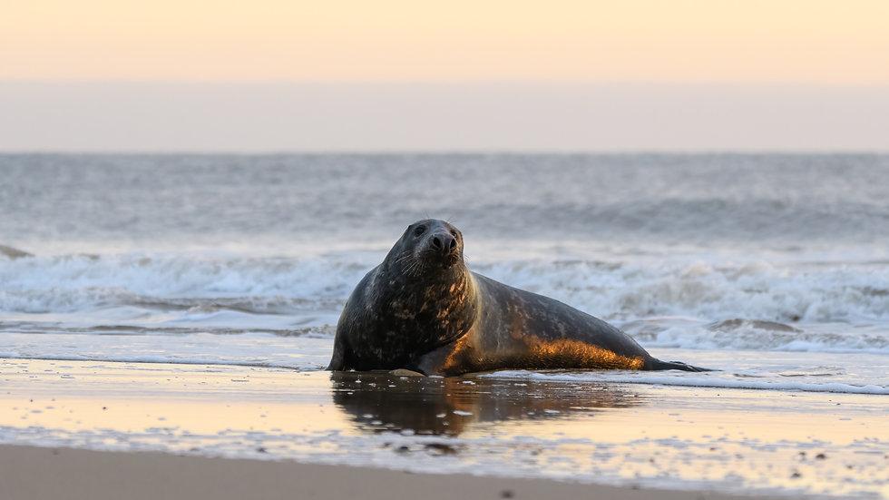 Bull seal